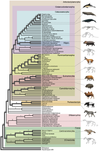 Cladogram_of_Cetacea_within_Artiodactyla