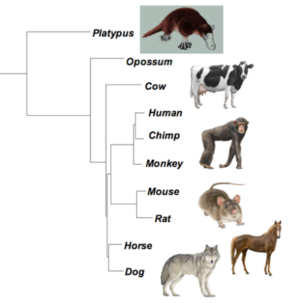 Most Recent Common Ancestor Of Cats And Dogs